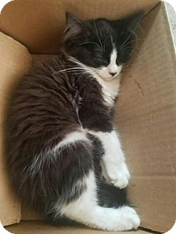 Domestic Longhair Cat for adoption in Lyons, Illinois - Shay