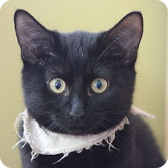 Domestic Shorthair Kitten for adoption in Verdun, Quebec - Laurie