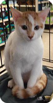 Domestic Shorthair Kitten for adoption in Yorba Linda, California - Moca