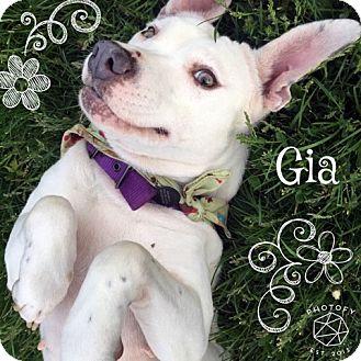 Pit Bull Terrier/Labrador Retriever Mix Dog for adoption in Pittsburgh, Pennsylvania - Gia