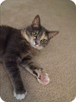 Calico Cat for adoption in Sarasota, Florida - Mandy