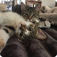 Adopt A Pet :: Pebbles & Bam Bam - Harrison, NY