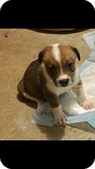 Collie Mix Puppy for adoption in Mesa, Arizona - MIRAI