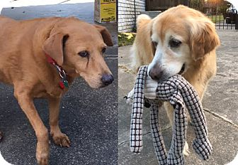 Golden Retriever Dog for adoption in New Canaan, Connecticut - Hailey and Charlie