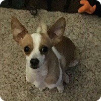 Chihuahua/Terrier (Unknown Type, Medium) Mix Dog for adoption in Leduc, Alberta - Cody