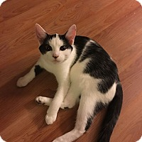 Calico Kitten for adoption in Louisville, Kentucky - Scarlett