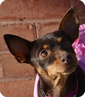 Chihuahua Mix Dog for adoption in Bridgeton, Missouri - Coco