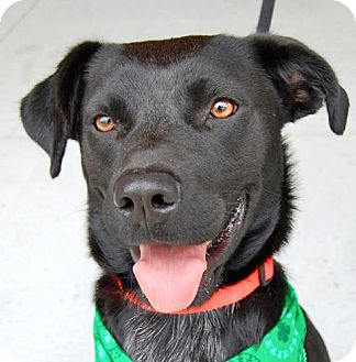Labrador Retriever Mix Dog for adoption in Baton Rouge, Louisiana - Portia