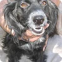 Adopt A Pet :: Sweet Pea - Glendale, AZ