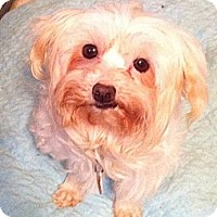 Adopt A Pet :: *Savannah - PENDING - Westport, CT
