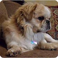 Adopt A Pet :: Latte - Virginia Beach, VA