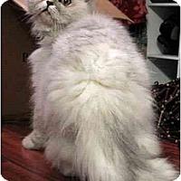 Adopt A Pet :: Fincy - Davis, CA