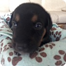 Adopt A Pet :: Molly's Pup Jefferson