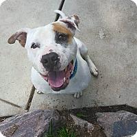 Adopt A Pet :: Butterball - Detroit, MI
