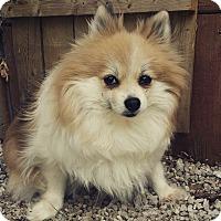 Adopt A Pet :: GiGi - LaGrange, OH