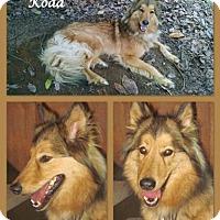 Adopt A Pet :: Koda - Trabuco Canyon, CA
