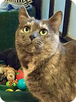 Domestic Shorthair Cat for adoption in Columbia, Maryland - Storm