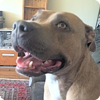 American Staffordshire Terrier Mix Dog for adoption in Surrey, British Columbia - Roma