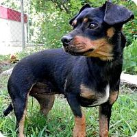 Adopt A Pet :: Bella - Tyler, TX