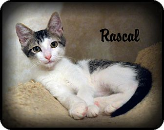 Turkish Van Kitten for adoption in Sherman Oaks, California - Rascal