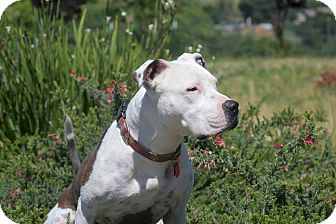 American Staffordshire Terrier Mix Dog for adoption in Lincoln, California - Shasta-ADOPTION FEE SPONSORED!