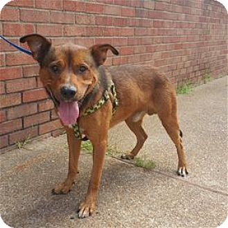 Shepherd (Unknown Type) Mix Dog for adoption in Nashville, Tennessee - Buddy