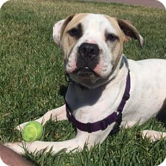 American Staffordshire Terrier Dog for adoption in Pleasant Hill, California - Meeting Pending - Bruno