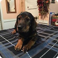 Adopt A Pet :: Amelia - Kittery, ME