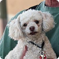 Adopt A Pet :: Snuggles - Palmdale, CA