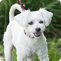 Poodle (Standard) Mix Dog for adoption in Long Beach, California - Pillow