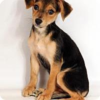 Adopt A Pet :: Aster Beagle Mix - St. Louis, MO