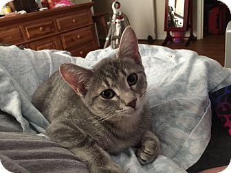 Domestic Shorthair Kitten for adoption in Marietta, Georgia - Axel