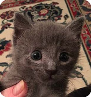 Russian Blue Kitten for adoption in Merrifield, Virginia - Stormy