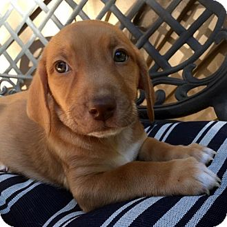 Basset Hound Mix Puppy for adoption in Pennsville, New Jersey - SAVANNAH - ADOPTION PENDING!