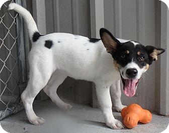Shepherd (Unknown Type)/Terrier (Unknown Type, Medium) Mix Dog for adoption in Seguin, Texas - Saffron