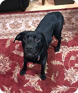 Labrador Retriever Mix Dog for adoption in Huntsville, Alabama - Delilah