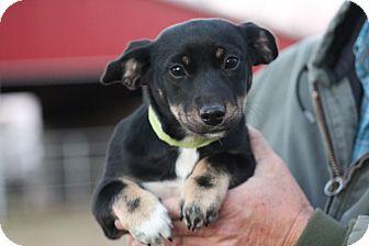 Rat Terrier Mix Puppy for adoption in Glastonbury, Connecticut - Princess Rose