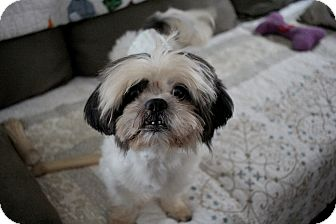 shih tzu rescue nyc long beach ny shih tzu lhasa apso mix meet finnegan a 6415