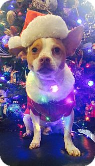 Jack Russell Terrier/Chihuahua Mix Dog for adoption in Hagerstown, Maryland - Count Von Wigglebutt