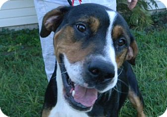 Entlebucher/Greater Swiss Mountain Dog Mix Dog for adoption in Orange Park, Florida - Hauns