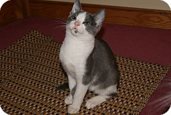 Domestic Shorthair Kitten for adoption in Trevose, Pennsylvania - Freckle