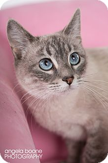 Domestic Shorthair Cat for adoption in Eagan, Minnesota - Nala