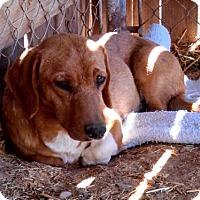 Adopt A Pet :: Abigail - Surprise, AZ