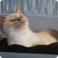 Adopt A Pet :: Lily - Addison, IL