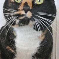 Domestic Shorthair Cat for adoption in Sebastian, Florida - Missy