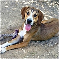 Hound (Unknown Type) Mix Dog for adoption in Shreveport, Louisiana - Hansel
