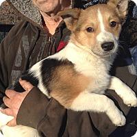 Adopt A Pet :: Trooper (13 lb) - Sussex, NJ