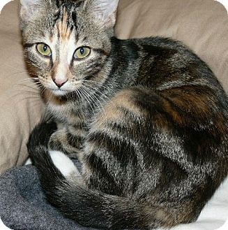 Domestic Shorthair Kitten for adoption in Garland, Texas - Molly (gray stripe)