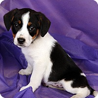 Adopt A Pet :: Ashley BeagleAussie Mix - St. Louis, MO