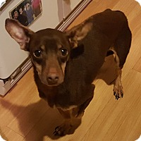 Miniature Pinscher/Dachshund Mix Dog for adoption in Andalusia, Pennsylvania - Chip